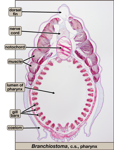 Branchiostoma, cross section of pharynx region.